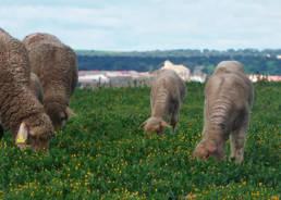 Alimentación corderos de pasto