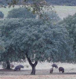 disponibilidad cerdo iberico